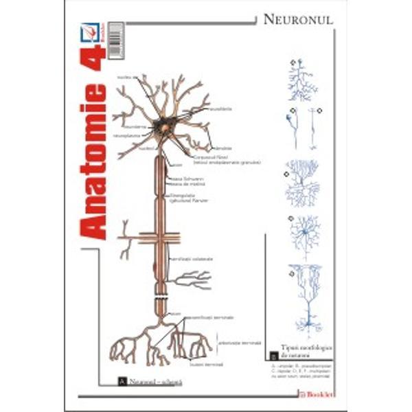 Plansa de Anatomie 4 contine reprezentari si notiuni teoretice ale neuronului sinapsei maduvei spinarii cerebelului